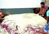 কোরবানির চামড়া প্রক্রিয়াকরণে লবণের চাহিদা
