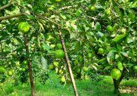 ব্রাহ্মণবাড়িয়ায় ২৭ কোটি টাকার মাল্টা উৎপাদন